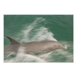 Bottlenose Dolphins Tursiops truncatus 21 Photograph