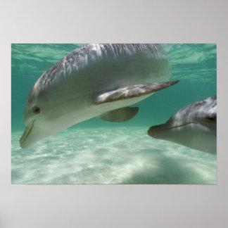 Bottlenose Dolphins Tursiops truncatus) 22 Poster
