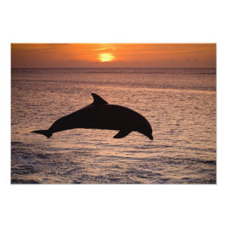 Bottlenose Dolphins Tursiops truncatus) 27 Art Photo