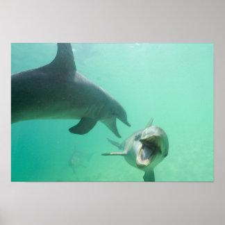 Bottlenose Dolphins Tursiops truncatus) 27 Poster