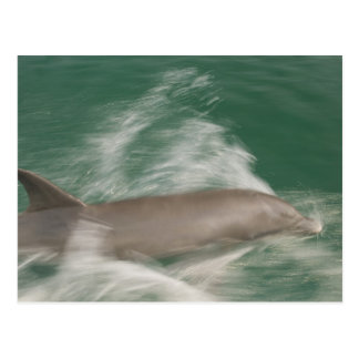 Bottlenose Dolphins Tursiops truncatus) 28 Postcard