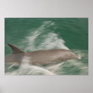 Bottlenose Dolphins Tursiops truncatus) 28 Poster