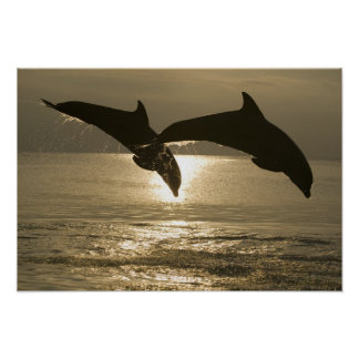 Bottlenose Dolphins Tursiops truncatus) 30 Poster