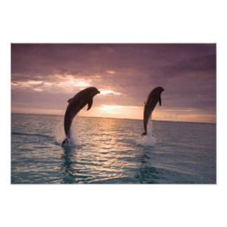 Bottlenose Dolphins Tursiops truncatus) 8 Photo Art