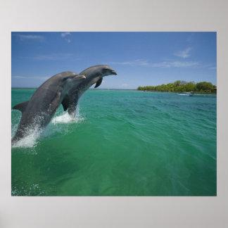 Bottlenose Dolphins (Tursiops truncatus) Poster