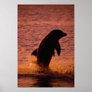 Bottlenose Dolphins Tursiops truncatus) Poster