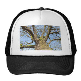 Bottom view oak tree without leaves in winter cap