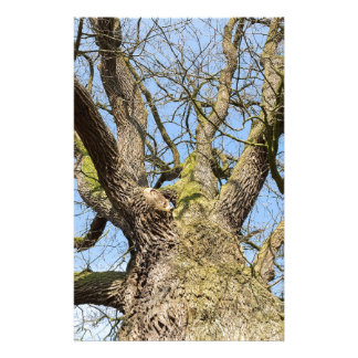 Bottom view oak tree without leaves in winter stationery