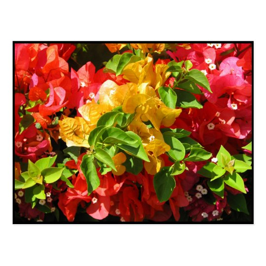 Bougainvillea Blossoms Postcard