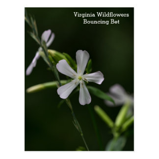 Bouncing Bet Virginia White Wildflowers Postcard