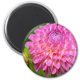 Bountiful Pink Dahlia and Bud Poster Magnet