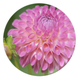 Bountiful Pink Dahlia and Bud Poster Plate