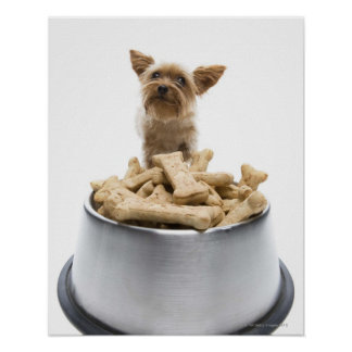 Bowl of dog treats by Yorkshire Terrier Poster