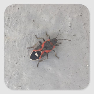 Box Elder Beetle Square Sticker