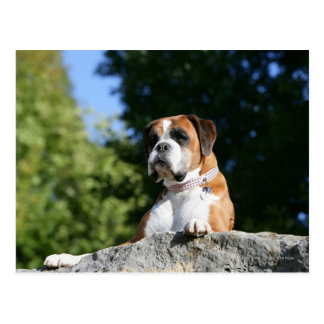 Boxer Dog Laying on a Rock Postcard