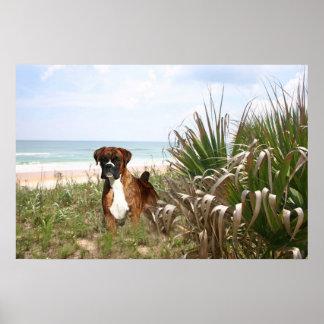 Boxer Poster Hiding In The Beachgrass