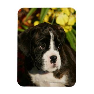 Boxer Puppies Rectangular Photo Magnet