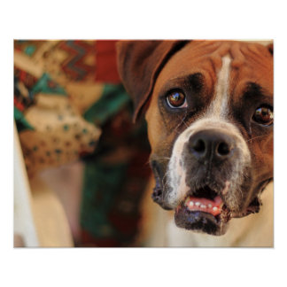 boxer's face weeping of friendly behavior poster