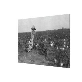 Boy Picking Cotton Photograph West, Texas Canvas Prints