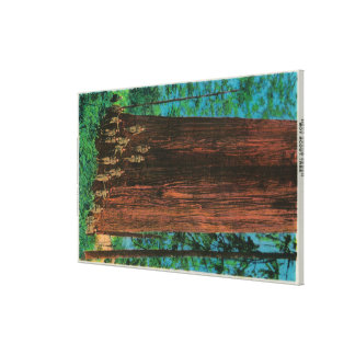 Boy Scout Tree on Redwood HighwayRedwoods, CA Canvas Print