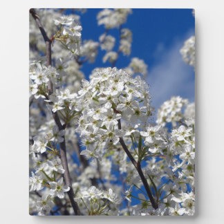 Bradford Pear Blooms Photo Plaques