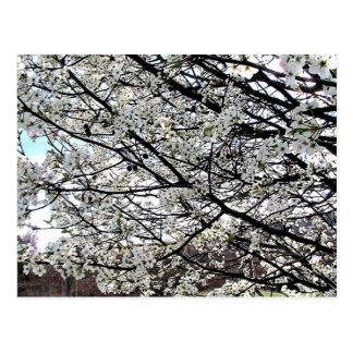 Bradford Pear Tree Blossoms Postcard