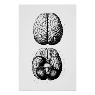 Brain Anatomy Illustration Poster
