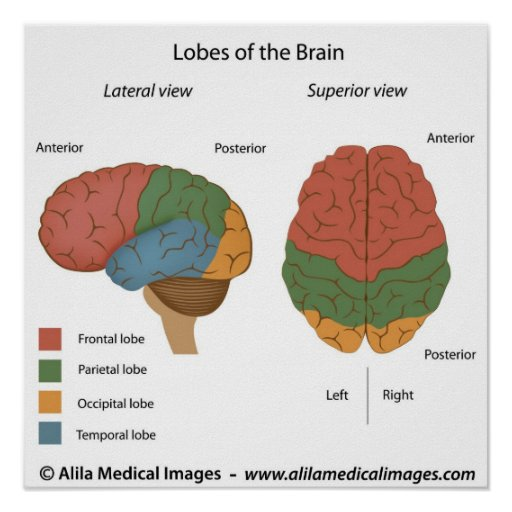 Brain Lobes  Labelled Diagram