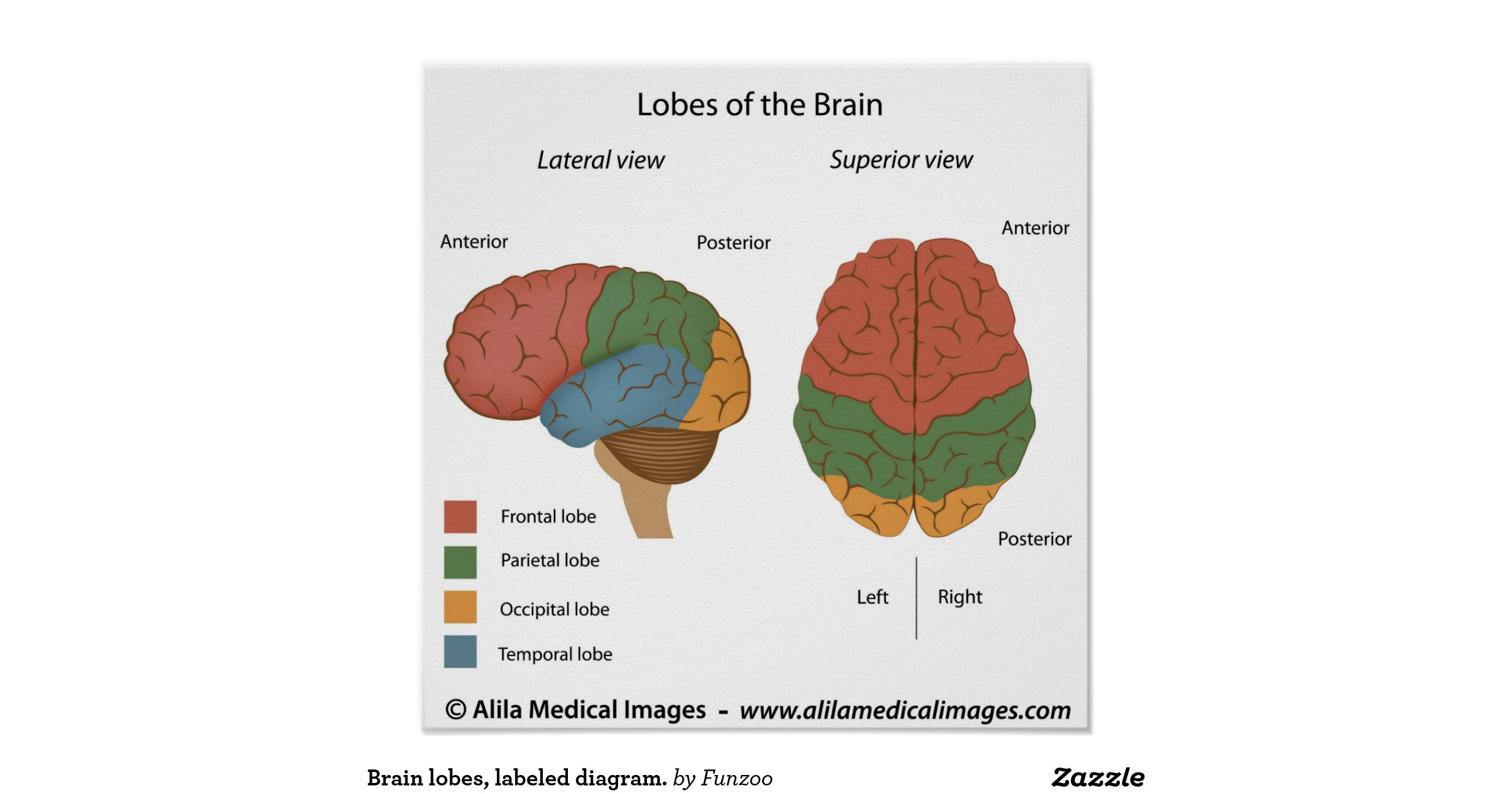 Brain lobes, labelled diagram. poster | Zazzle