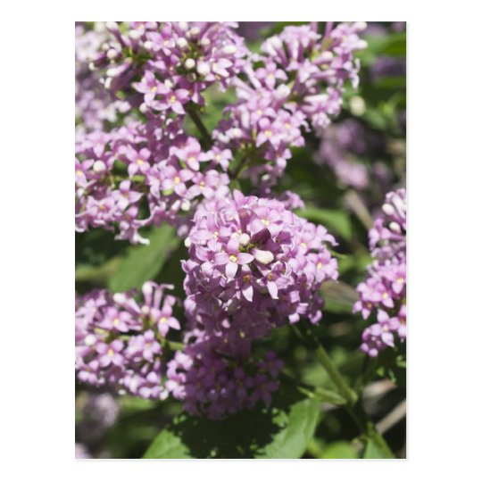 Branch of lilac postcard