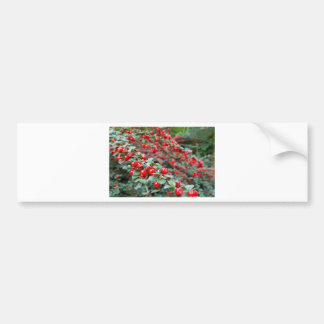 Branches with ripe red cotoneaster berries bumper sticker