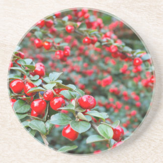 Branches with ripe red cotoneaster berries coasters