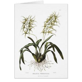 Brassia verrucosa card