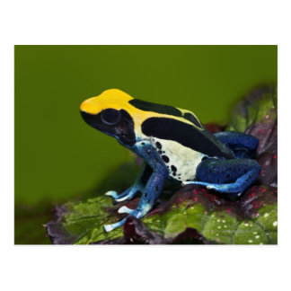 Brazilian Cobalt Dart Frog, Dendrobates Postcard