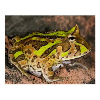 Brazilian Horn Frog, Ceratophrys cornuta, Native Postcard