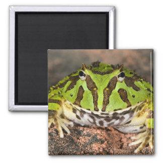 Brazilian Horn Frog, Ceratophrys cornuta, Square Magnet