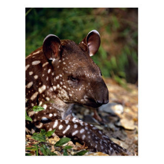 Brazilian tapir, young calf postcard