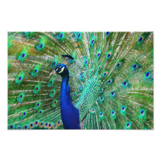 Breathtaking Peacock Picture Photo Print
