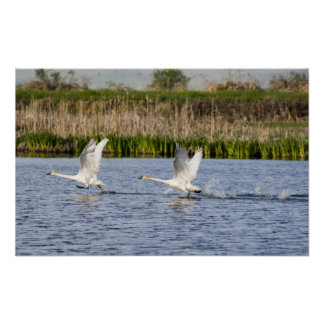 Breeding pair of tundra swans takeoff for poster
