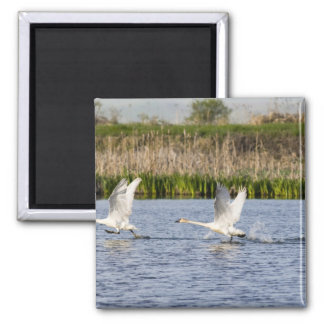 Breeding pair of tundra swans takeoff for square magnet