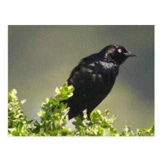 Brewer's Blackbird postcard