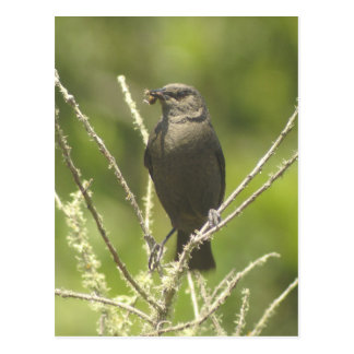 Brewer's Blackbird with Cricket Postcard