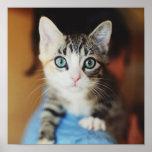 Bright Blue Eyed Kitten Poster