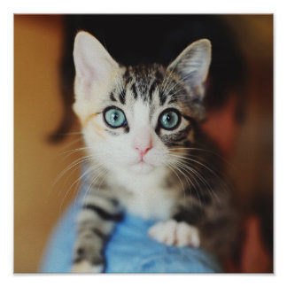 Bright Blue Eyed Kitten Poster