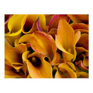 Bright colorful calla lilies at the postcard