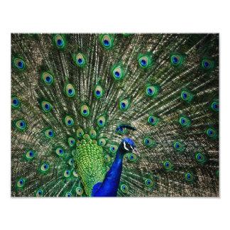 Bright Peacock Photographic Print