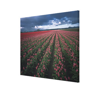 Bright pink and red tulips glow under dark canvas prints