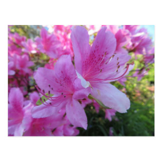 Bright Pink Blossoms Postcard