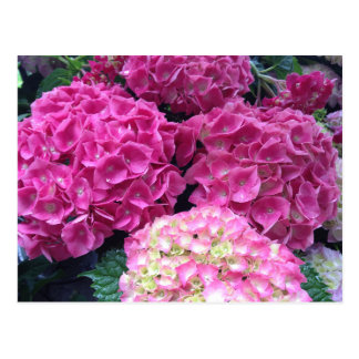 Bright Pink Hydrangea Flowers Postcard