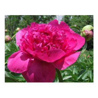 Bright Pink Peony Flower Postcard
